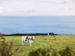 Cows and sea