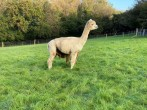 You can relax in the gardens and watch the alpacas