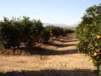 Coin orange groves