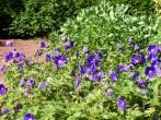 Geraniums in garden