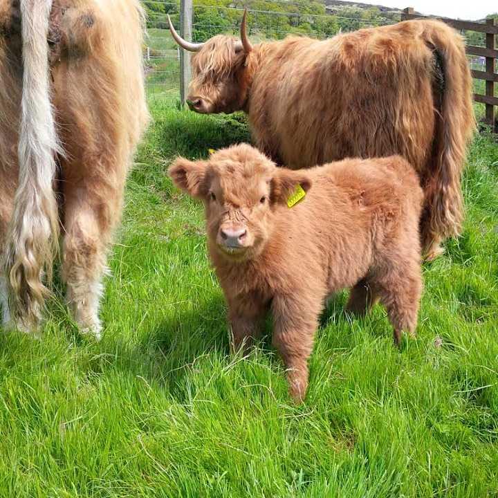 Calves at Gavinburn