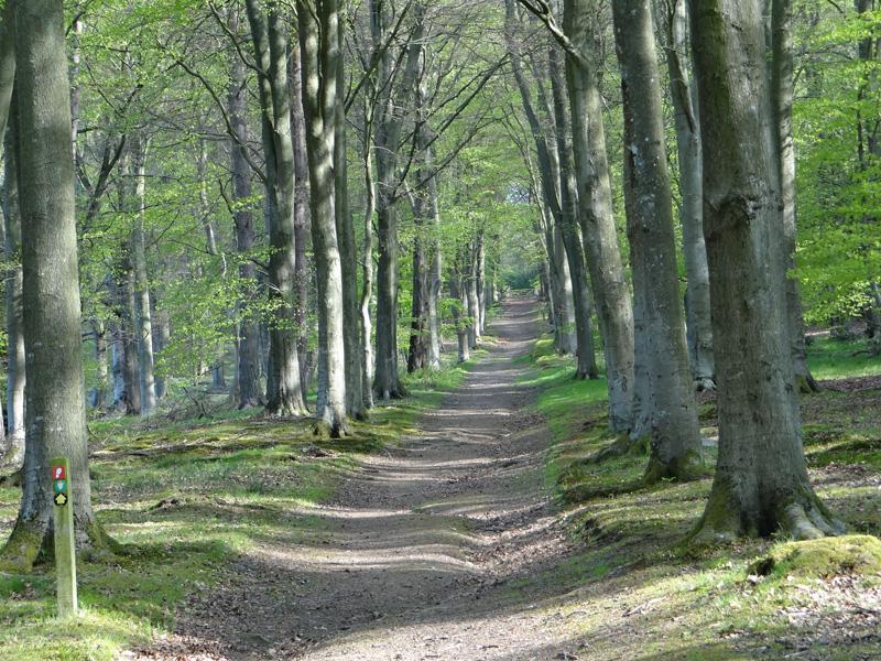 Beech corridor near the Forge