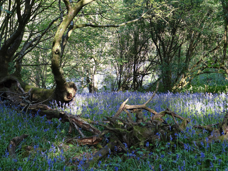 Bluebell woods near the Forge